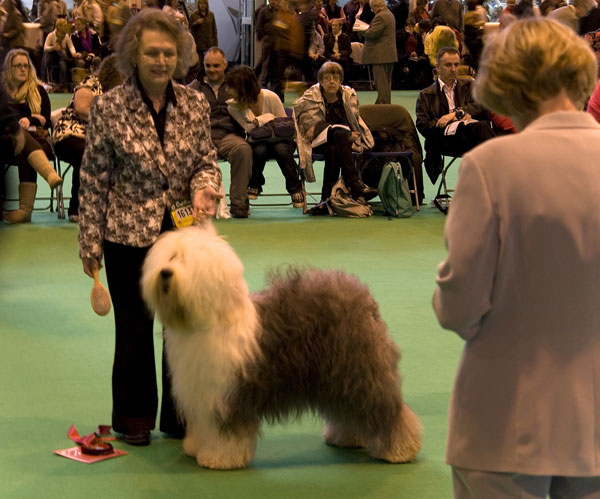 Meisan Roly Poly Angelica (Jelly) winning Limit bitch at Crufts 08 before she took the CC